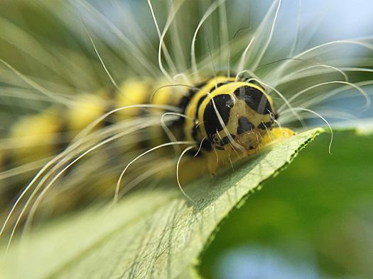 シンジュキノカワガの幼虫の顔。