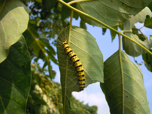 シンジュキノカワガの幼虫。