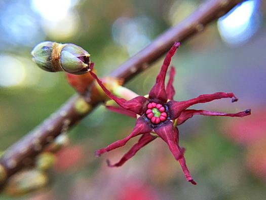 マルバノキの花。