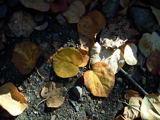 カツラの落ち葉。