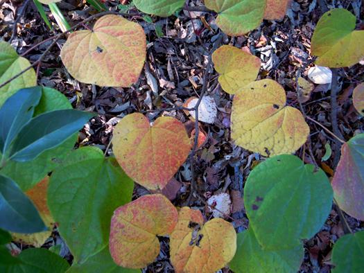 マルバノキの葉の写真1。