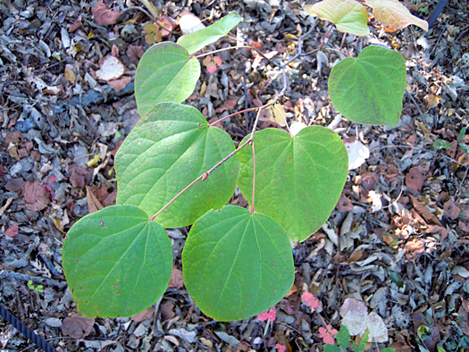 マルバノキの葉の写真2。