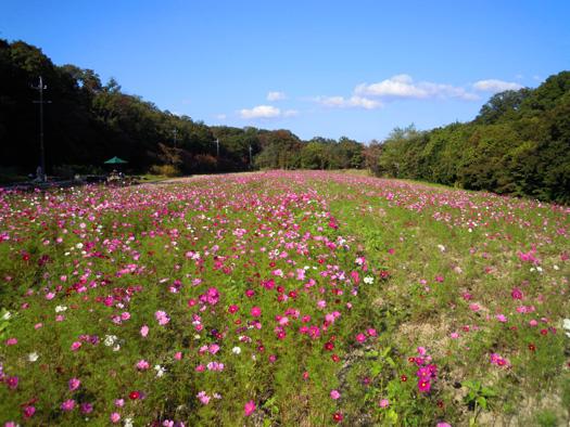 愛知県森林公園のコスモス。