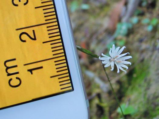 キッコウハグマの花のサイズ。