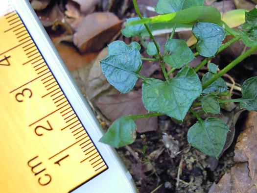 キッコウハグマの葉のサイズ。