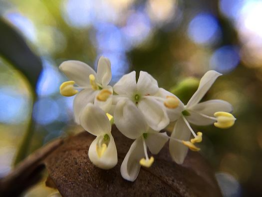 ヒイラギの花。