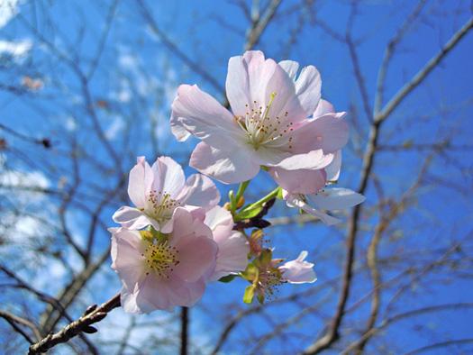 サクラの品種 アーコレードの花。