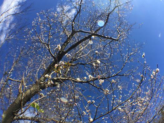 コブクザクラの花。