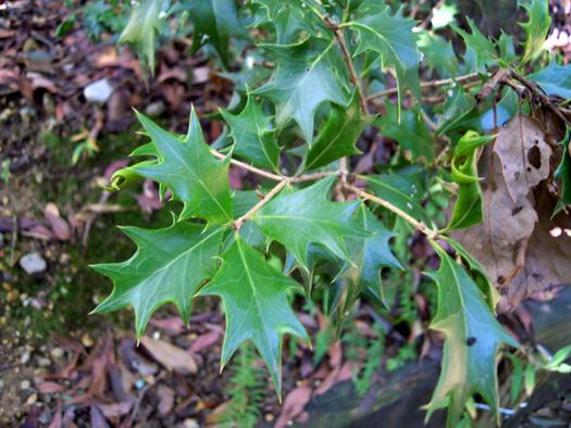 ヒイラギの葉。