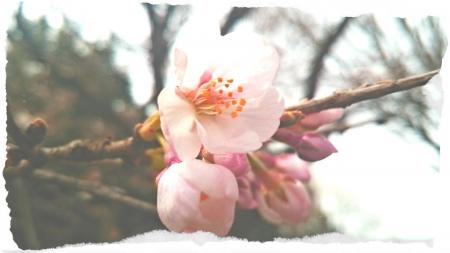 2016 桜開花