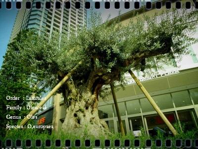 olive002.jpg