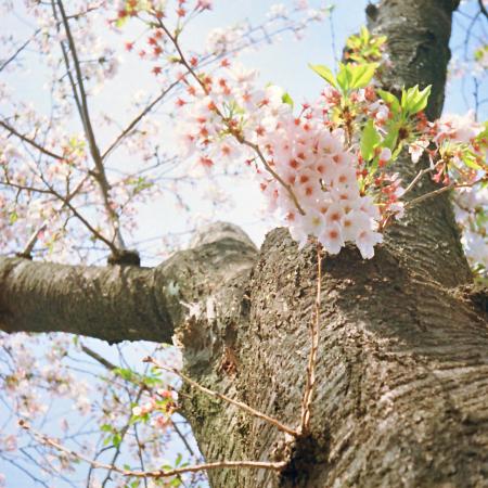 sakura_sakura.jpg