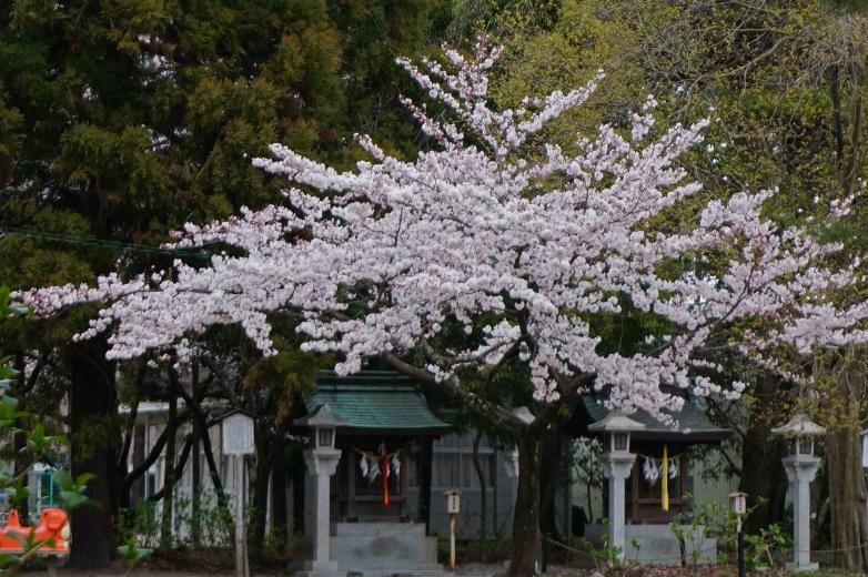 401sakura2