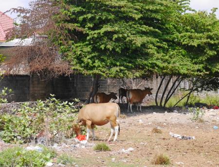 ニケヴィラ近く 牛の放牧