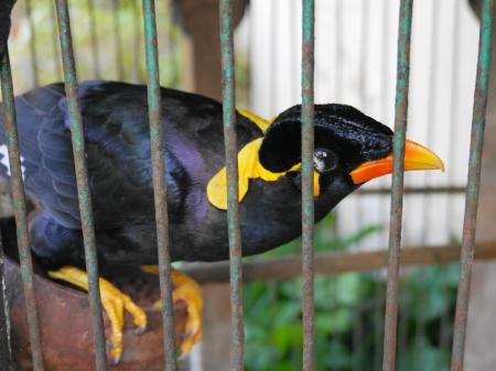 チェンダナ 九官鳥