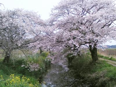 1604 今井の桜