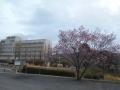 桜はまだ (1)