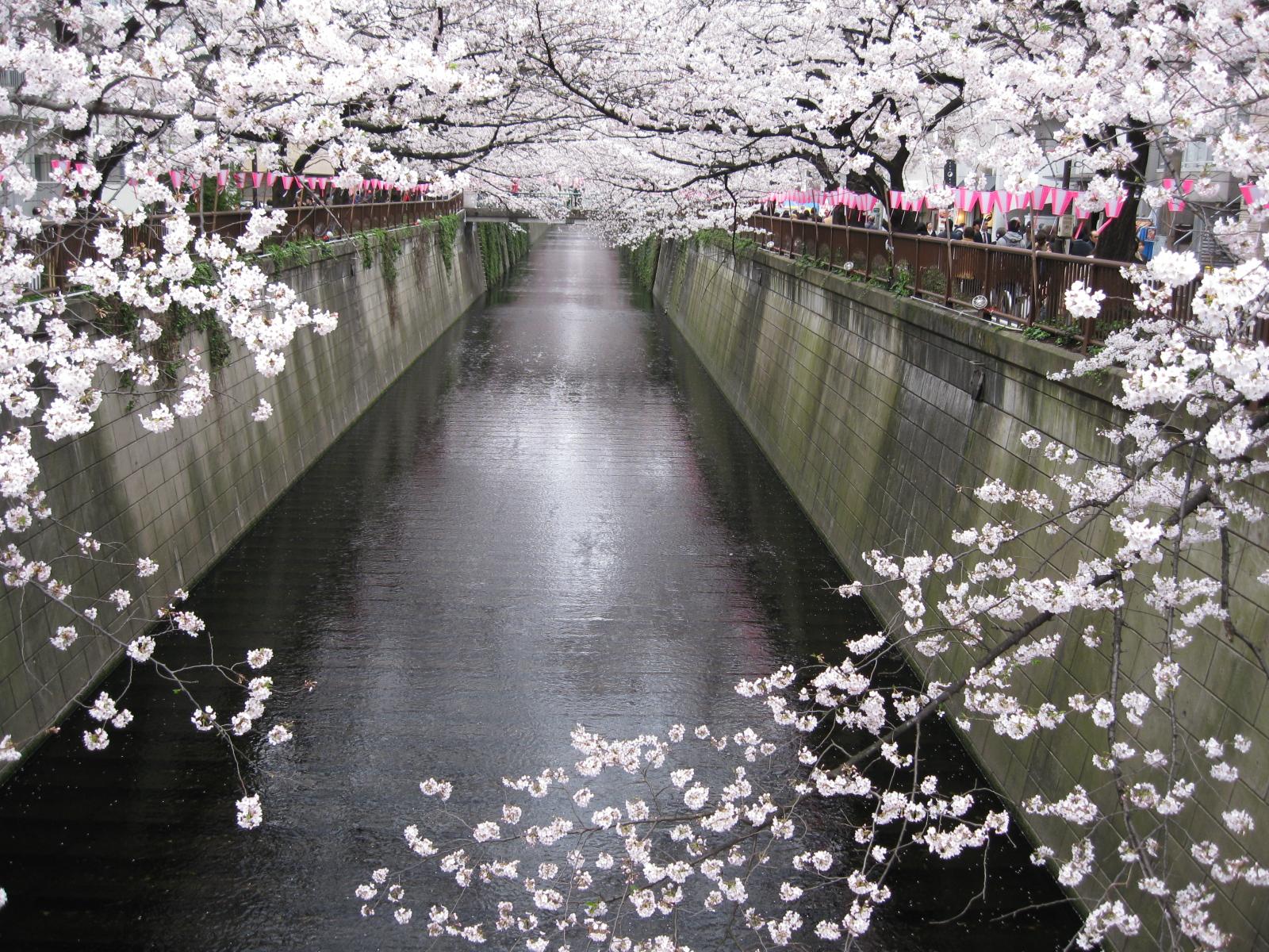 目黒川 花見 Meguro River Hanami