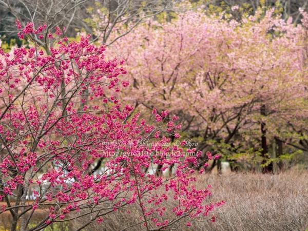 カンヒザクラと河津桜 A