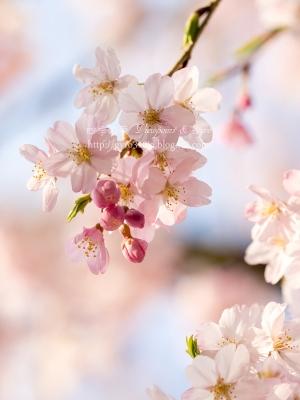 枝垂れ桜 A