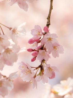 枝垂れ桜 B