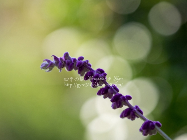 昭和記念公園の花 D