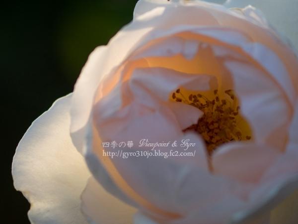 秋バラ C