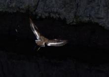160320116 飛翔イソシギ