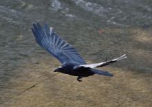 160320118 飛翔カラス
