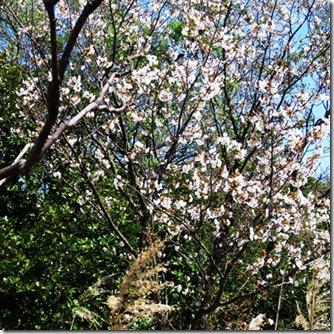 160322009山桜