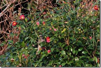 160323010 椿の花にきたヒヨドリ(鵲)