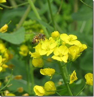 160323013 花粉を集めていたセイヨウミツバチ
