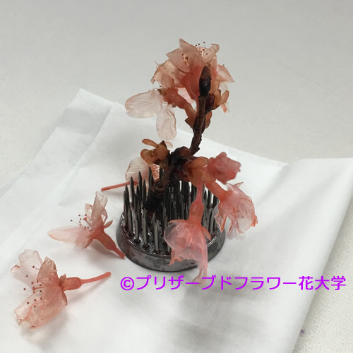 2016桜完成1