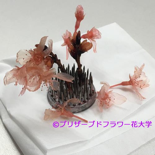 2016桜完成2