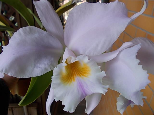 C. labiata fma. amesiana 'Marcia Regina' 20151028