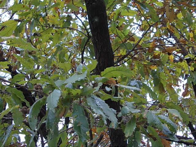 Kunugi oak 20151112