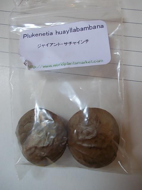 Pluketia huayllabambana 20151016