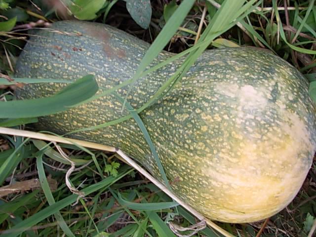 Pumpkin 20151029