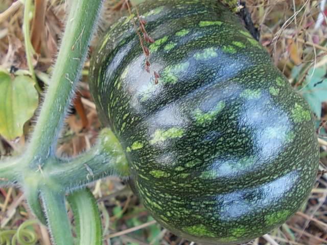 Pumpkin 20151115
