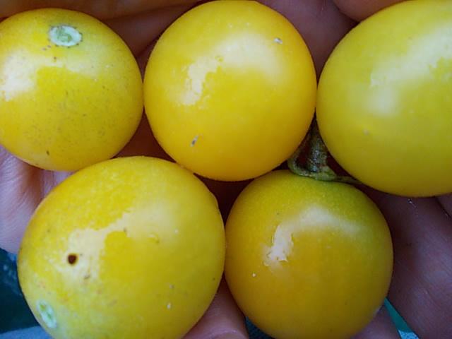 Tomato 'Yellow Mimi' 20151101