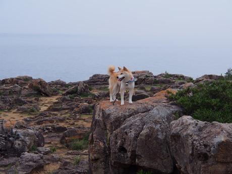 岩に乗る柴犬