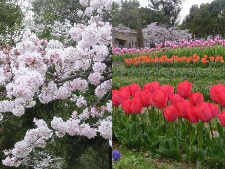 桜と チュリップ