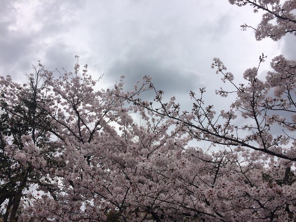 大通寺桜1