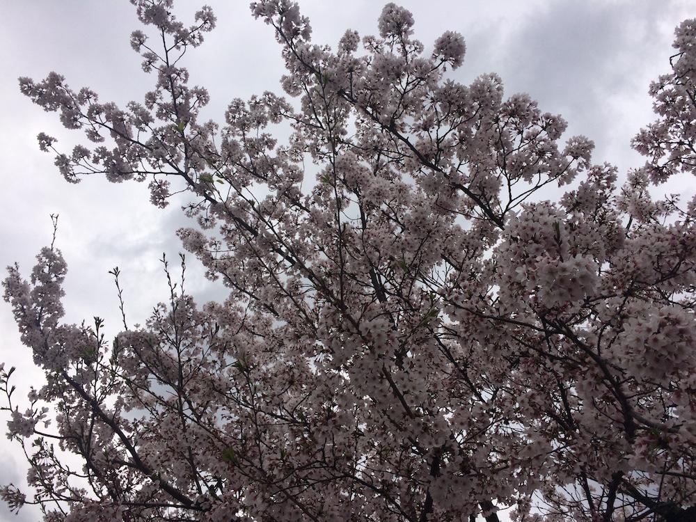 大通寺桜2