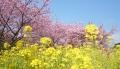 菜の花&桜