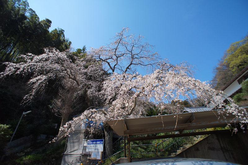 等覚寺の枝垂れ桜 2016,1