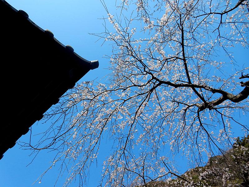 等覚寺の枝垂れ桜 2016,2