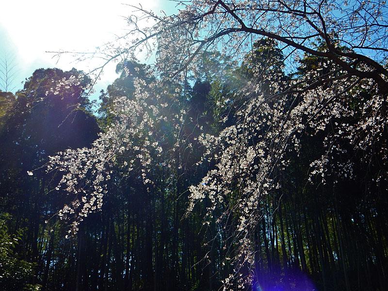 等覚寺の枝垂れ桜 2016,3