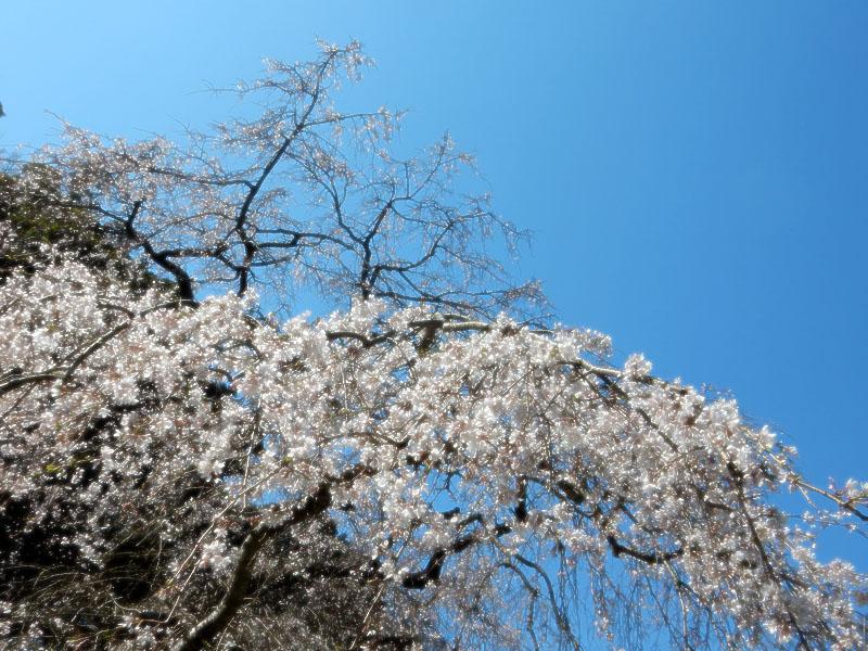 等覚寺の枝垂れ桜 2016,4
