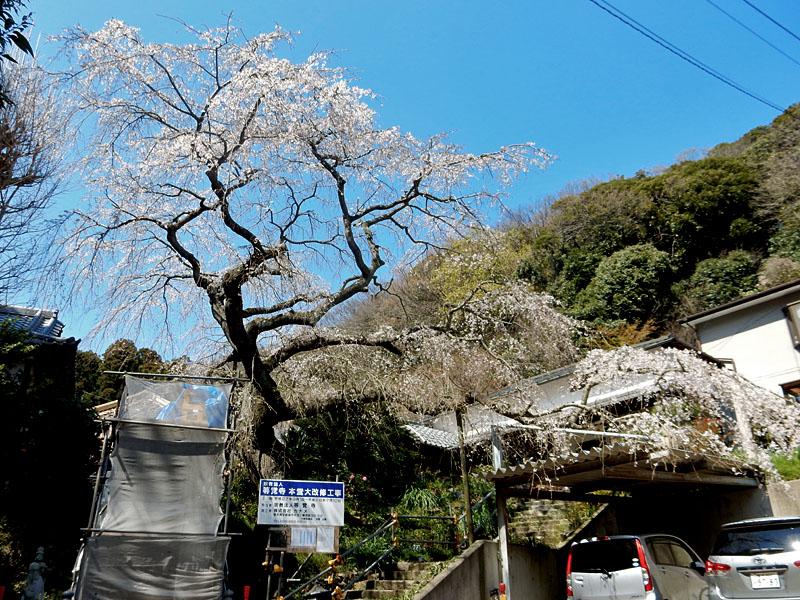 等覚寺の枝垂れ桜 2016,6